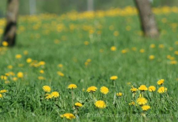 Serwis kosiarki - tutaj widok na trawnik porośniety mleczami